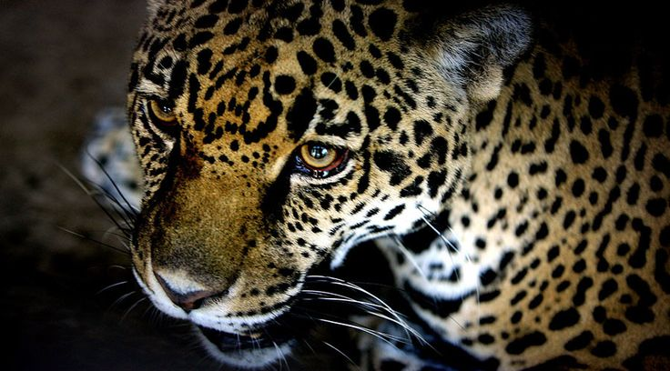 Rare jaguar spotted on prowl in Arizona.
