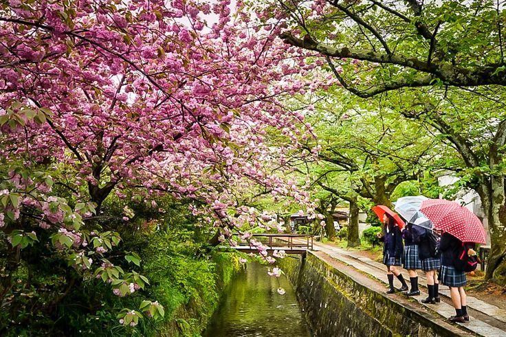 https://flic.kr/p/TDym1a | Sakura Kyoto-Shi | Philosophers Walk, Kyoto, Japan, April 2017.  The last of the Sakura on quite a wet day.  Preliminary edit in LR for IOS (iPhone).