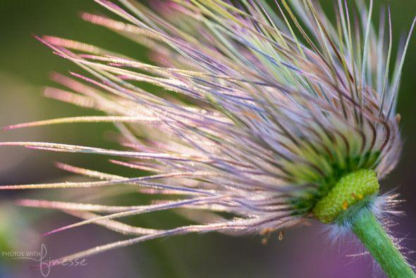 Seed head from the Prairie Crocus.