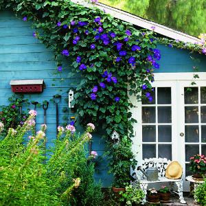 I have always loved the morning glory vine. I think I will plant some to climb up our mailbox and lamp post.