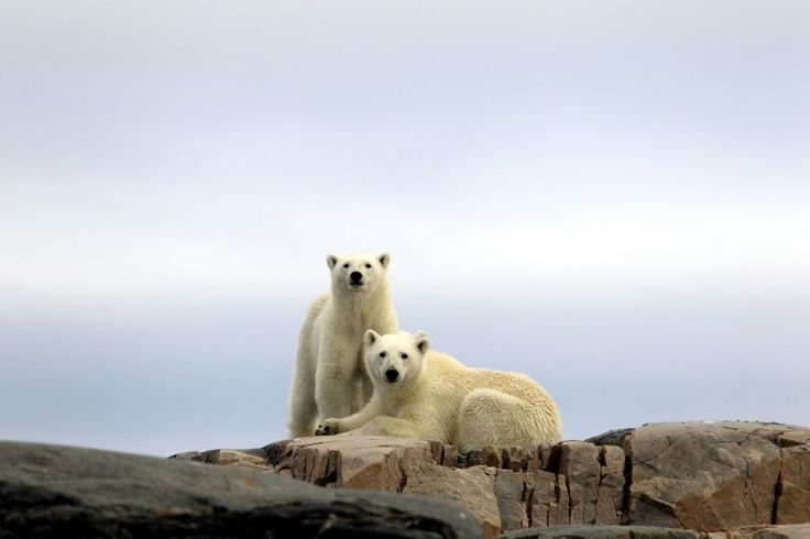 Polar Bears - Spitsbergen - #norway http://www.regent-holidays.co.uk/country/norway-holidays/