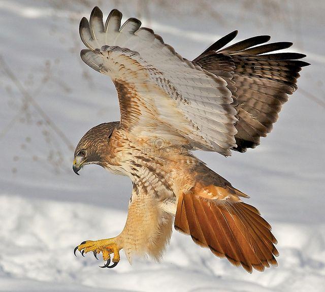 Red-winged hawk (unidentified)