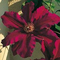 La clématite est une plante grimpante aux grandes fleurs colorées et au feuillage caduc, parfois persistant. Découvrez nos conseils pour la cultiver !