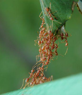 rode mieren: Je kunt de mierenbeet herkennen door een rood bultje dat jeukt. Naast de erge jeuk en de rode vlek, ontstaat er ook vaak een zwelling door de beet.