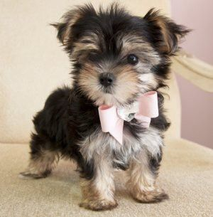 cute puppyDogs, Bows Ties, Little Puppies, Yorkie, Pets, Pink Bows, Adorable, Things, Animal