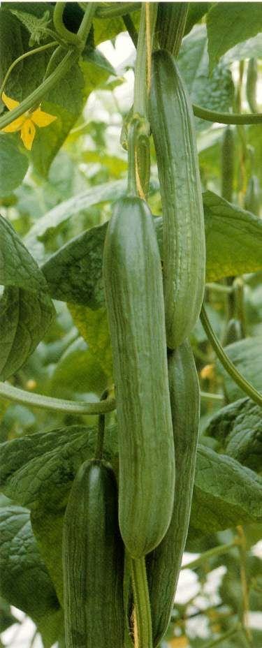 Long Burpless cucumbers