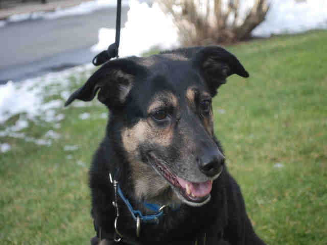Cape Cod Animal Rescue Part - 21: Koda Is A A Neutered Male, Black And Tan German Shepherd Dog And Bluetick  Coonhound. Heu0027s About 8-years-old And Has Been At Our Cape Cod Adoption  Center ...