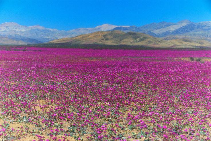 Desierto Atacama (Florido)