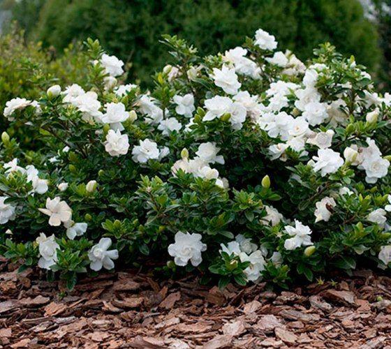Crown Jewel Dwarf Gardenia Live Plant By