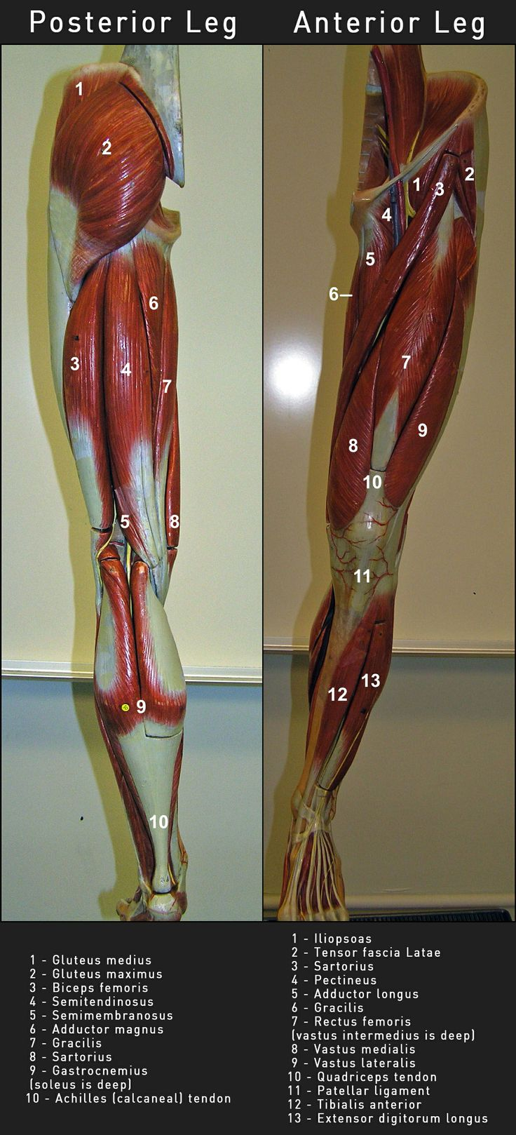 Anatomy & Physiology Of The Leg - El Camino College | 8 | Pinterest ...