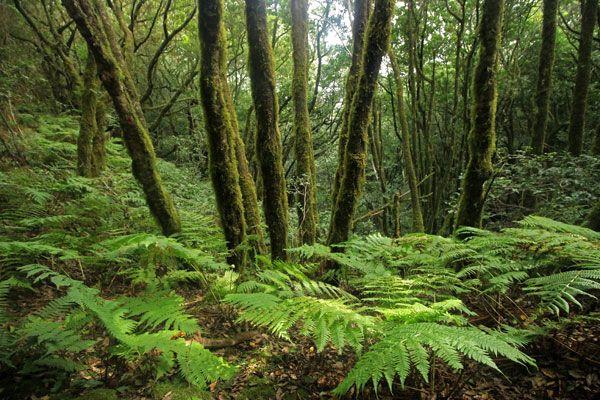 Bosque de Laurisilva en el Parque Rural de #Anaga en #Tenerife
