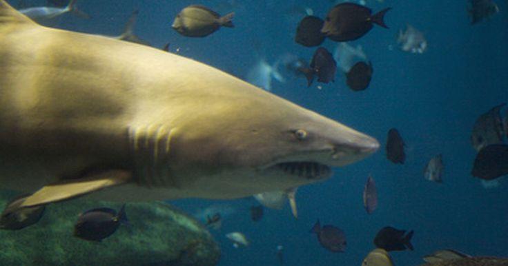 Información sobre el tiburón megalodon. Según el Museo de Historia Natural de Florida, el tiburón megalodon se extinguió hace dos millones de años. Estos animales aparecieron por primera vez en la tierra hace aproximadamente 17 millones de años. Su nombre científico es Carcharodon Megalodon, de acuerdo con EnchantedLearning.com.