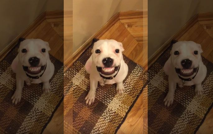 """These adorable dog smiles for the camera whenever he hear someone saying """"say cheese"""". This is indeed a hilarious moment of a five month old puppy smiling just like a human. Watch the video below and see how charming this dog is! This 5 month old rescued dog named Herbert, who's just begun learning to be social, and now has become a social media …"""
