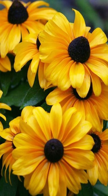 309 best flowers images on pinterest rudbeckia black eyed susan flowers yellow petals and black centers mightylinksfo Gallery