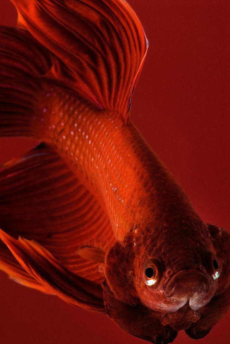 157 best Animal <3333 err images on Pinterest   Exotic fish, Fluffy ...