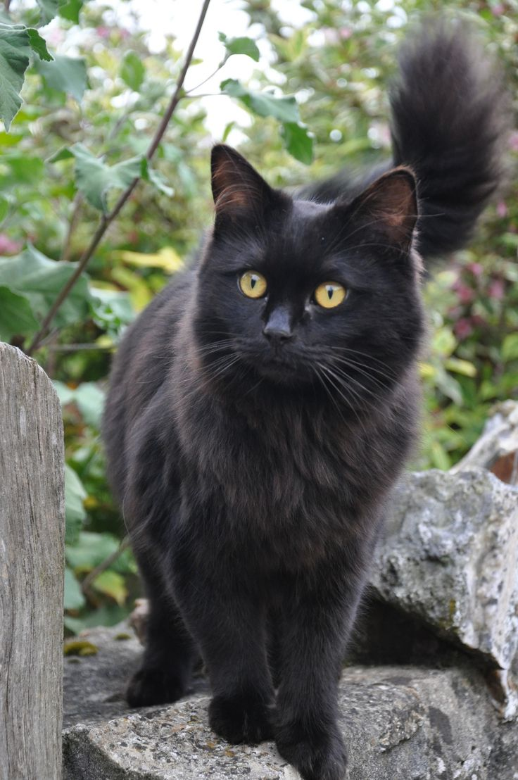 Best 25 Black cat superstition ideas on Pinterest