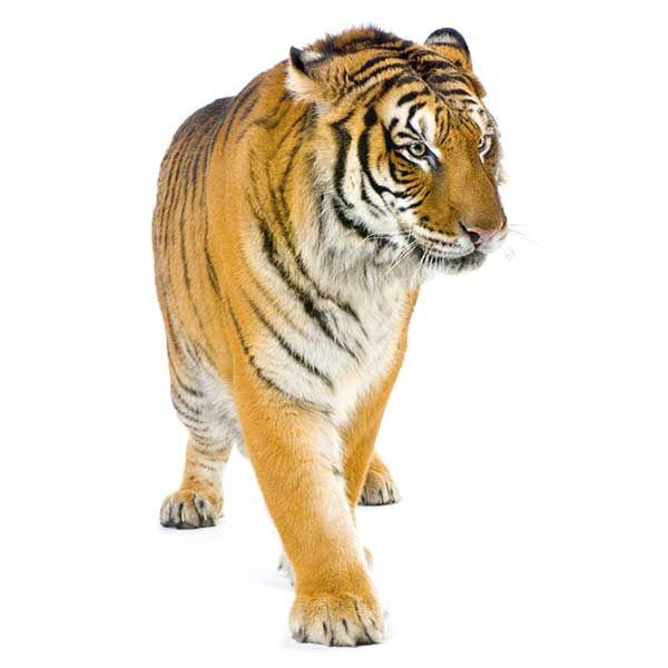 Tigre de Bengala (Panthera tigris tigris)