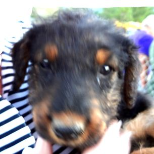 larger Airedale Terriers for sale