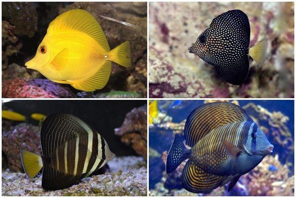 Zebrasoma species marine aquarium ideas saltwater tanks #aquarium #fish