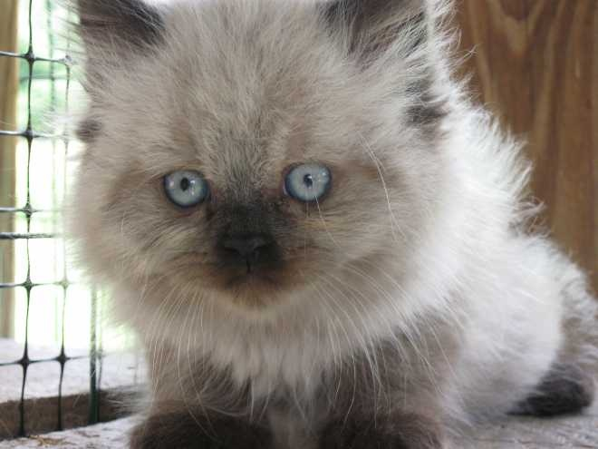 Himalayan kitten for sale virginia