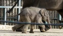 Asha is the name of the newborn elephant in Budapest Zoo
