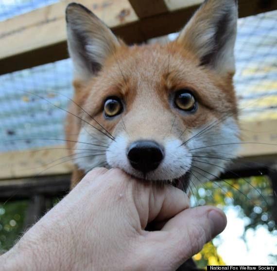 Pudding, la petite renarde sauvage apprivoisée | Glamour  Mascotte de National Fox Welfare Society.