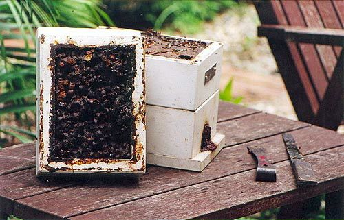 Milkwood: A peek inside a stingless beehive (native australian bees) - Sugarbag hive with sugarbag layer on left and brood box on the right