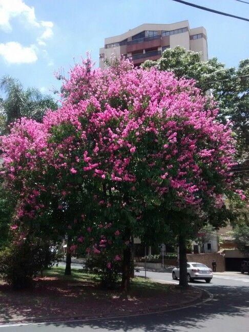 Resedá gigante rosa