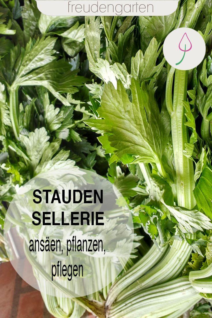 Staudensellerie Anbauen Sellerie Pflanzen Staudensellerie Gemuse Anbauen