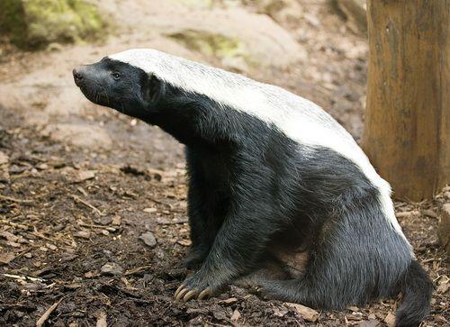 Барсук медоед (Honey Badger) фото 19