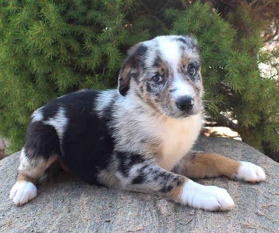 Dominik – Male Australian Shepherd puppy in Grabill, Indiana