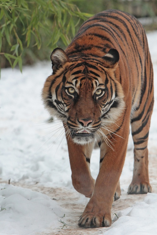 tiger subspecies essay 100% free papers on tiger essay sample topics, paragraph introduction help, research & more class 1-12, high school & college .