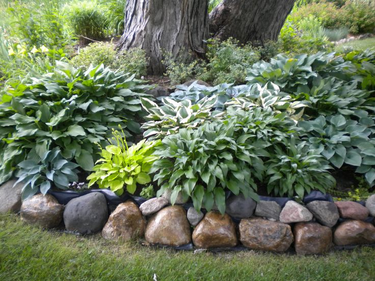 Hosta color around a big tree. Go out 5 ft. from the base. Silver Maples can take 12 in. ht. of dirt and be safe. I like to use about 3 colors of hosta and a splash of a accent.