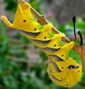 Death's head hawkmoth caterpillar - Bing Images