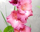 """Gladiolus Flower Photography, Pink Flowers Photo, Floral - """"Pink Gladiolus"""" 8x10 Photography Print"""