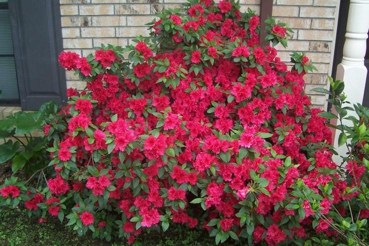 Azaleas   Garden   Pinterest   Evergreen shrubs, Bridal ...
