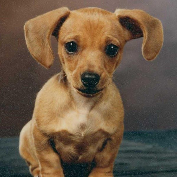 Cutest Dachshund Pictures List Of Adorable Dachshund Photos