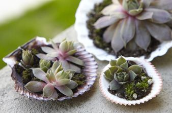 hens and chicks in shells <3Hens And Chicks Plants Ideas, Gardens Ideas, Container Gardens, Sea Shells, Minis Gardens, Hens And Chicks Ideas, Succulents And Seashells, Container Plants, Hens And Chicks Succulents
