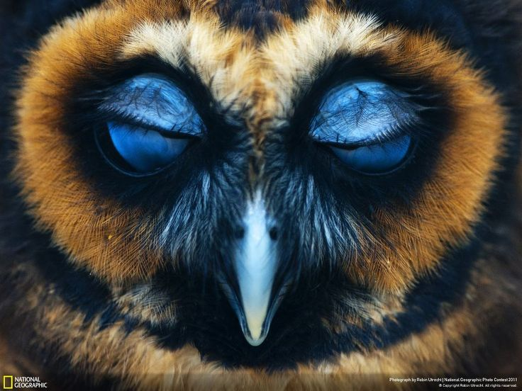 The colours on this owl are breathtaking - National Geographics