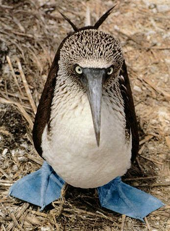 before I die I will see one of these in the wild! have loved the blue footed booby since I was a kid