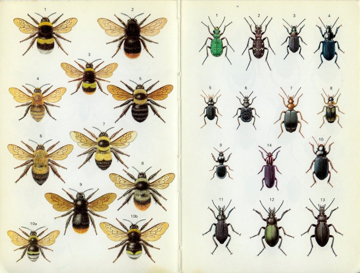 Vintage Insect Print, Bumble Bees, Cuckoo, Water Beetles, Tiger, Ground, 1973, Book Plates, Home Decor, for Framing, Entomology via Etsy.