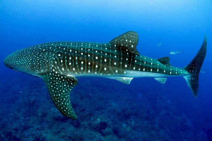 The Threatened Whale Shark