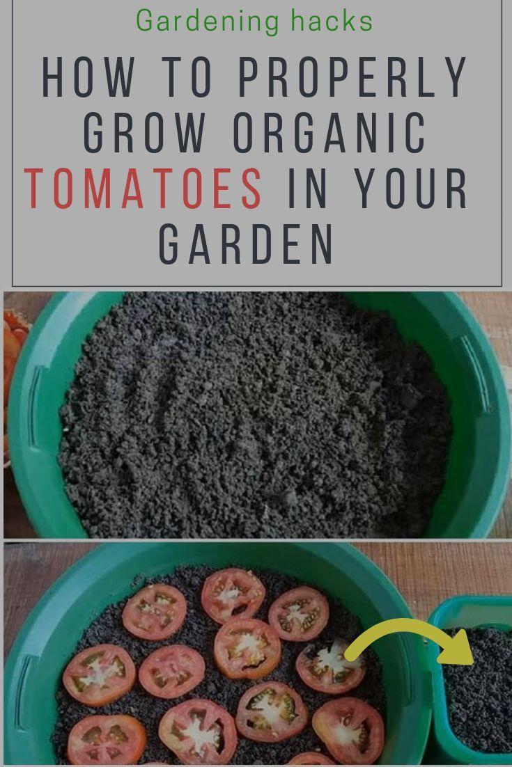 Faire Pousser Tomates En Pot biologiques #comment #cultiver #jardin #tomates #votre