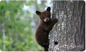 What will happen to the bears? A new bill would decimate national forests across the country by requiring the Forest Service to spend whatever it takes to comply with the requirement of logging at least 50% of public forest land each year.