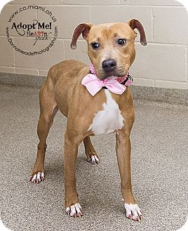 VERY URGENT!  I am at a kill shelter in Troy, OH - Pit Bull Terrier Mix. Meet Daisy a Puppy for Adoption.