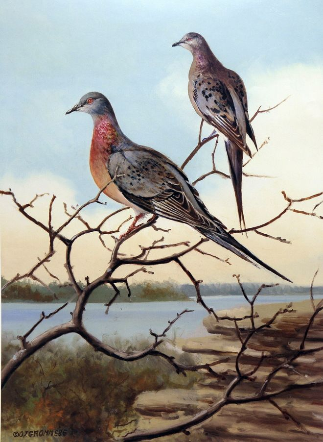 Owen Gromme's Passenger Pigeons - DMS Bands