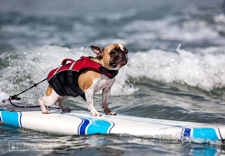 Frenchie at his Surf Dog Surf-A-Thon lesson at Del Mar Dog Beach, San Diego! dogscapes.com #surfing #dogs #french #bulldog