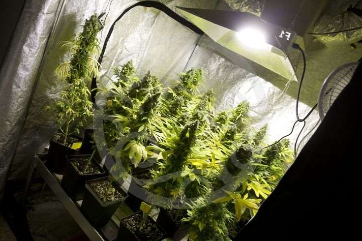 Guía rápida para cultivar con éxito marihuana en interior (FOTOS) - http://growlandia.com/marihuana/guia-rapida-para-cultivar-con-exito-marihuana-en-interior-fotos/