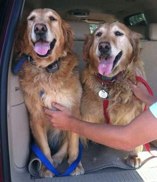 These are Princess & Duchess and they are 9 years old. They are owner surrenders. They are good with other dogs and kids but have not been cat tested, are potty trained and have good house manners. They do not need to be adopted together. Princess & dDuchess are looking for a forever hoem and are at Retrievers and Friends of Southern California.