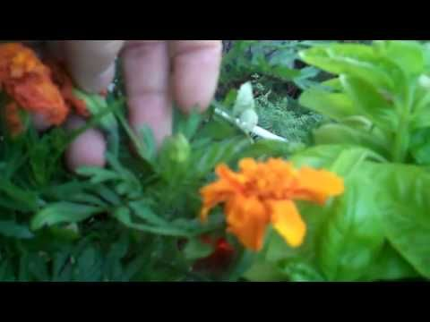 Deadheading Marigolds...exactly what I thought, but thanks so much for the video.